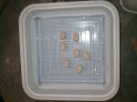 Serama Eggs in Incubator