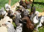 chickfreedom 064